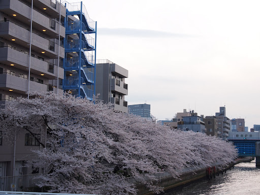 [写真]「高橋」から見た桜並木