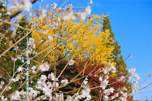 イチョウと紅葉・四季桜の中の写真