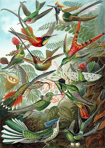 Рисунок Эрнста Геккеля - Колибри (Trochilidae)