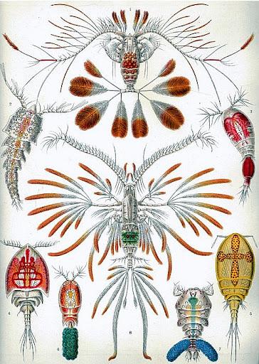 Рисунок Эрнста Геккеля - Веслоногие ракообразные (Copepoda)