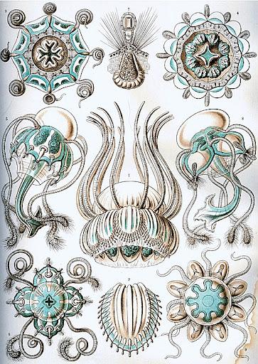 Рисунок Эрнста Геккеля - Trachylina (Narcomedusae)