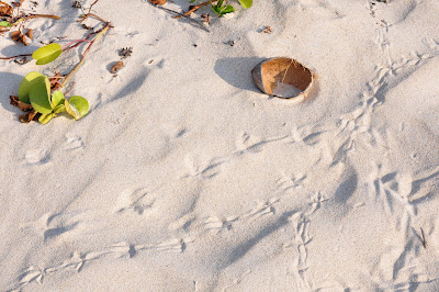 Coconut hull and bird tracks in fine, warm beach sand.