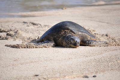 Sleeping sea turtle (Honu) basking on beach in Hawaii. Photo by Lisa Callagher Onizuka