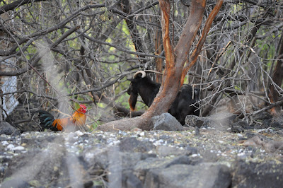 Wild (feral) beach goat and rooster discussing plans for their next day in paradise. Hawaii - near Kona. Photo by Lisa Callagher Onizuka