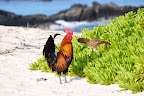 Beach rooster watching out for his Hawaiian hen. Photo by Lisa Callagher Onizuka