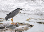 Black-crowned Night Heron (Auku'u in Hawaiian). Photo by Lisa Callagher Onizuka
