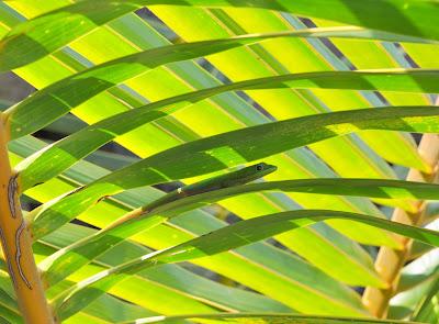 Day Gecko near Kona, Hawaii.