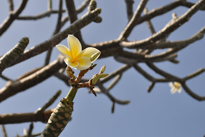 Lovely fragrant plumeria, most of them without leaves at the end of January. Kona, Hawaii. Photo by Lisa Callagher Onizuka