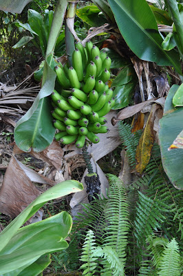 Bananas growing in Hawaii.