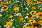 Field of flowers - black eyed susan, yarrow