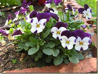 Garden Purple 038