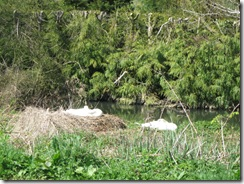 IMG_0030 Swans nesting
