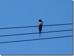 IMG_0012 Swallow
