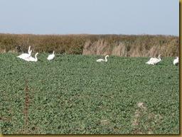 IMG_0004 Swans