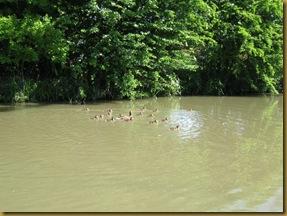 IMG_0041 Duck 15 chicks