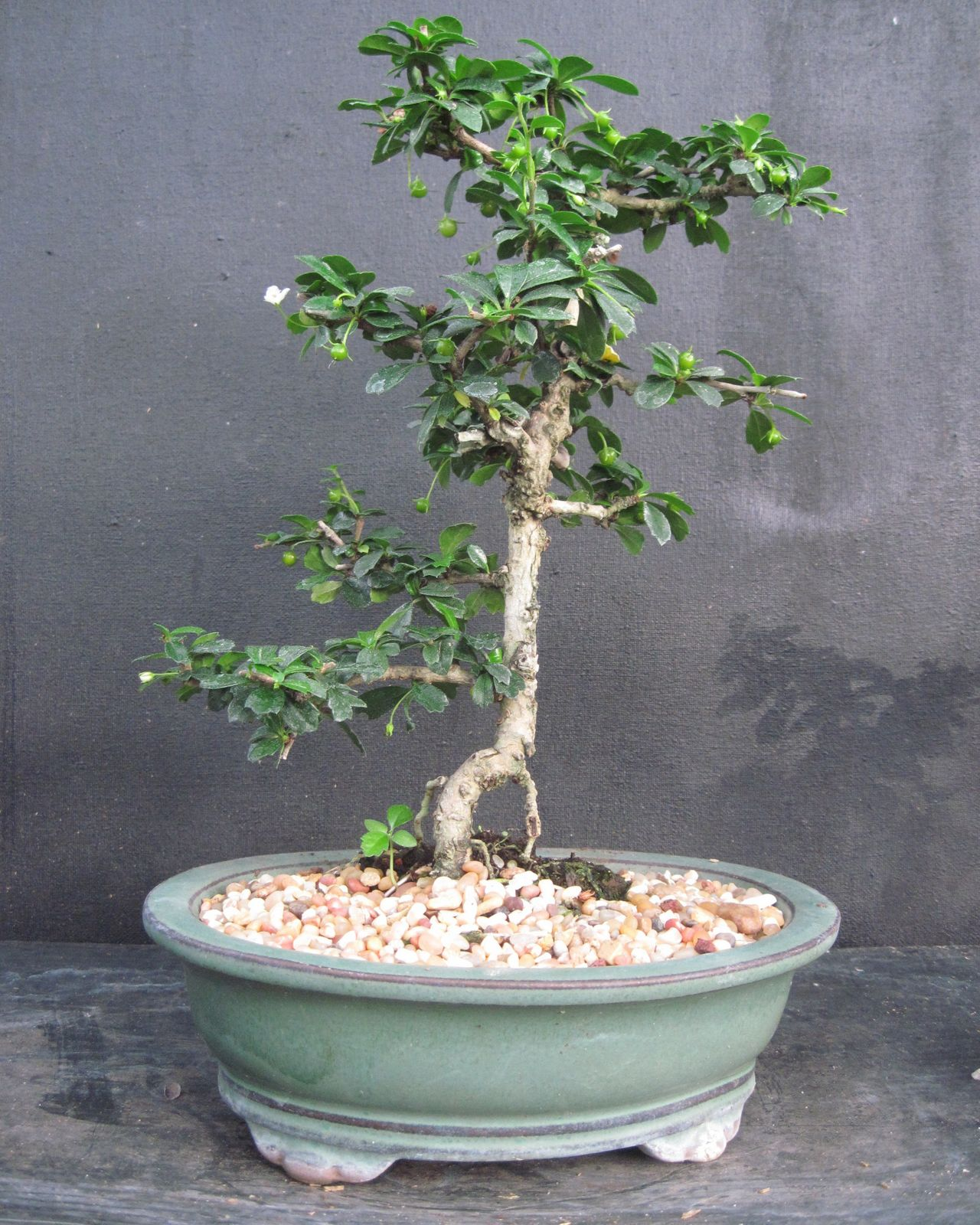 Bonsai Beginnings Fujian Tea Fukien Tea Philippine Tea Poor