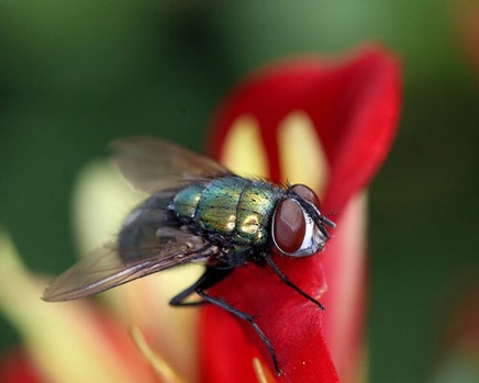 bottleflyonredflower
