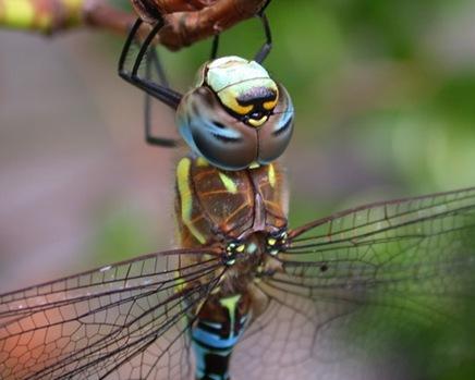 dragonflybyjaydehawk