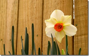 easter-daffodil-wallpapers_8522_1440x900