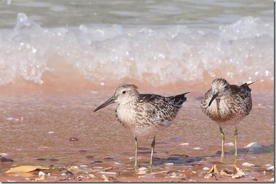 Great Knot_3537_1