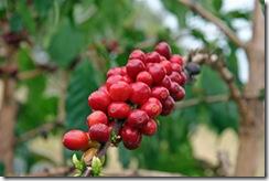Kona Coffee1