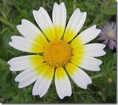 CrisantemoComestivel1