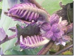 Solanum hirsutissimum (small)