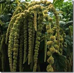 Amaranthus-caudatus-'Albiflorus'1