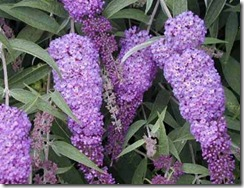 Buddleja davidii