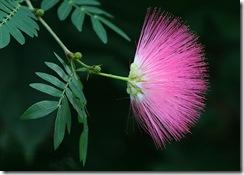 Calliandra surinamensis1