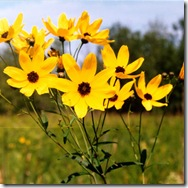 COREOPSIS TRIPTERIS