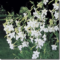 Nicotiana_alata grandiflora