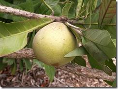 Pouteria Hypoglauca - Cinnamon Apple MFSP