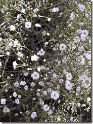 Gypsophila_paniculata