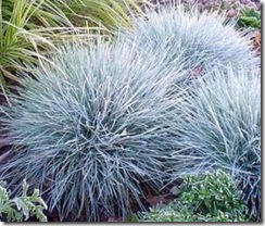 Blue Fescue