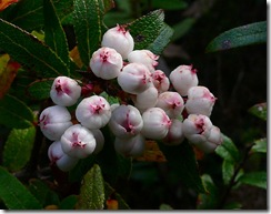 Gaultheria hispida