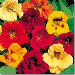 Nasturtium Dwarf Jewel