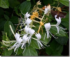 Lonicera japonica