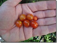 Tomate Lilliput