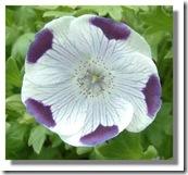 1 nemophila_maculata