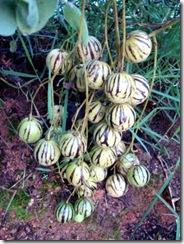 Solanum caripense3