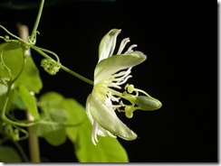 Passiflora_gracilis