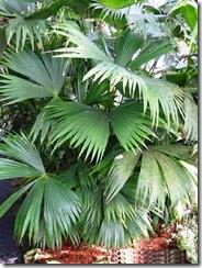 carludovica palmata1