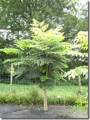 Aralia elata