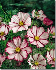 cosmos picotee