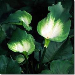 Zantedeschia aethiopica Green Goddess
