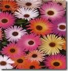 Mesembryanthemum bellidiformis