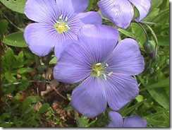 Linum usitatissimum