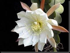 Epiphyllum_crenatum