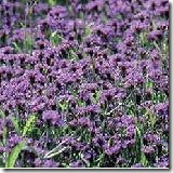 Tuver Vervain